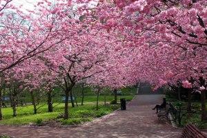 pohon-bunga-sakura-di-taman
